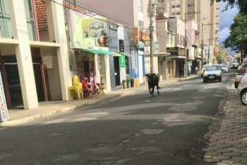 SUSTO: Animal solto causa prejuízos pela cidade