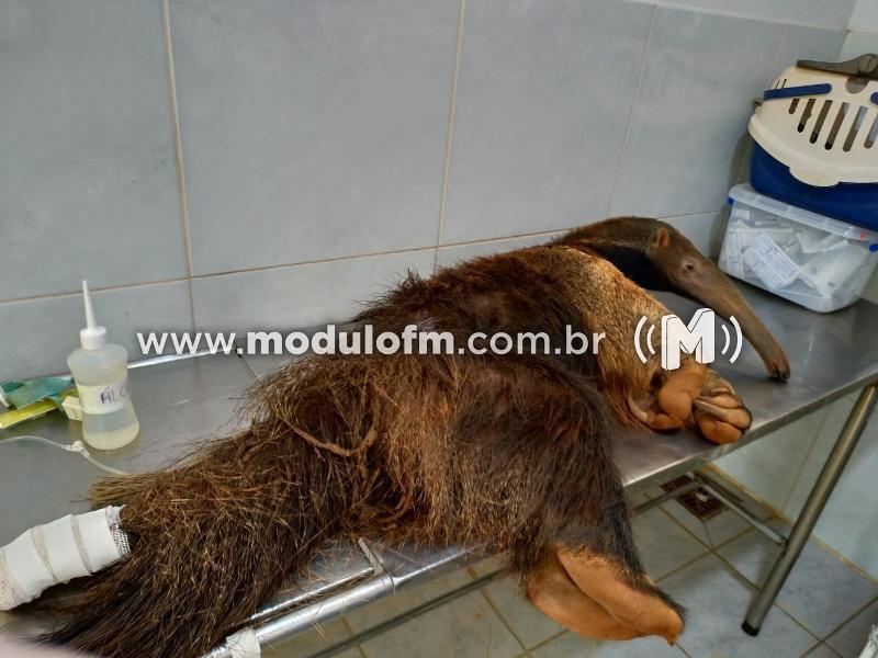 Bombeiros capturam tamanduá-bandeira ferido em residencial de luxo