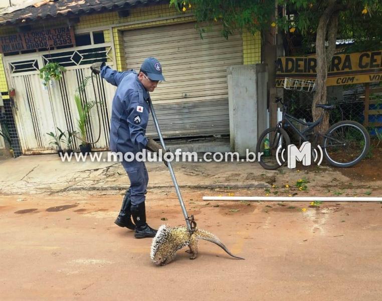 Bombeiros resgatam porco-espinho em cima de residência
