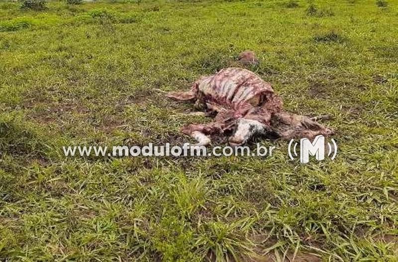Ladrão mata vaca e rouba a carne na zona rural de Patrocínio
