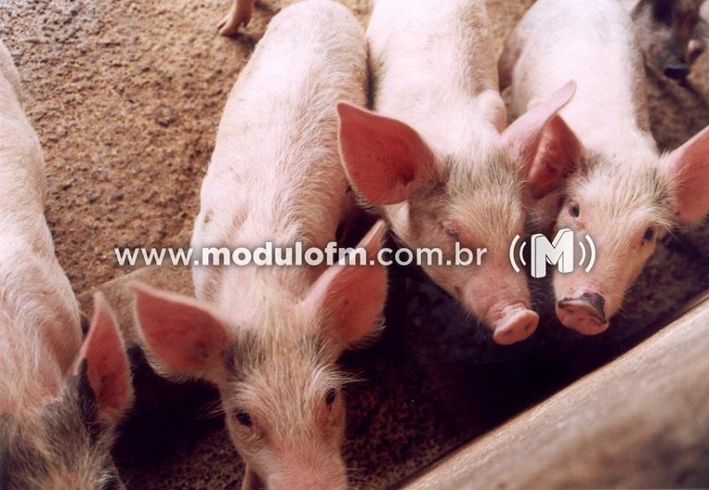Senecavírus A em granjas de suínos aumenta vigilância a suspeitas de doenças vesiculares