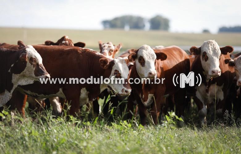 INDICADORES: Preço do boi gordo em queda nessa quarta (04)