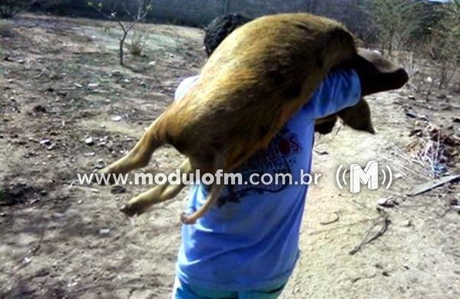 PM prende em flagrante suspeitos de furtarem  porcos