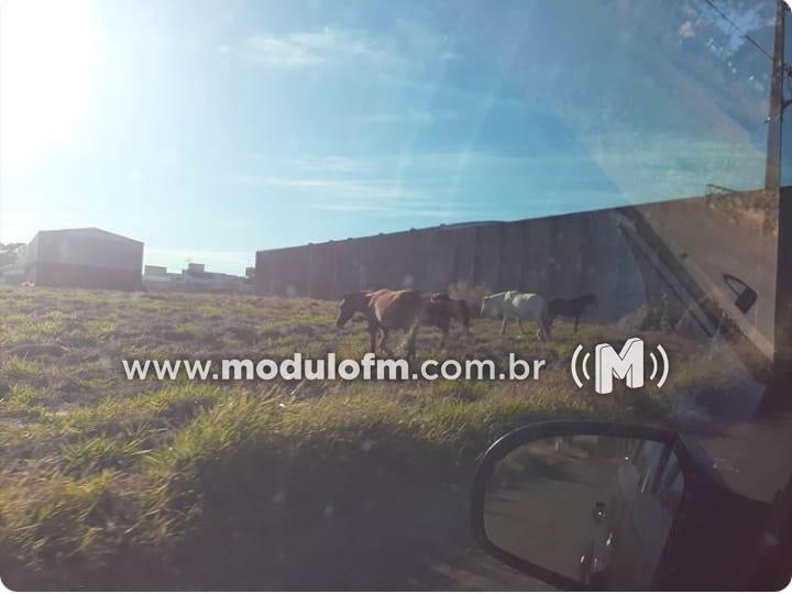 Moradores registram grande quantidade de animais soltos nas proximidades da MG-230