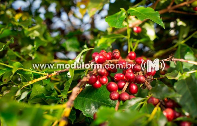 Seca intensa provoca perdas na produção de lavouras de café