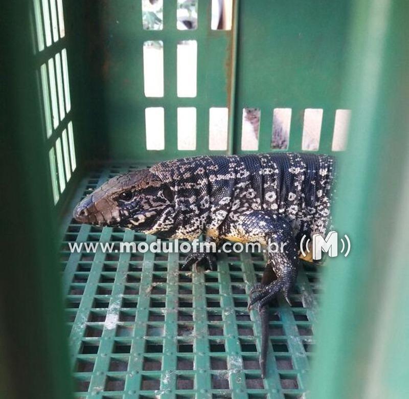 Bombeiros capturam lagarto teiú de 40 centímetros em residência do bairro Morada Nova
