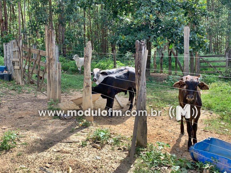Ex-funcionário de fazenda é preso por furtar 4 cabeças de gado em Abadia dos Dourados