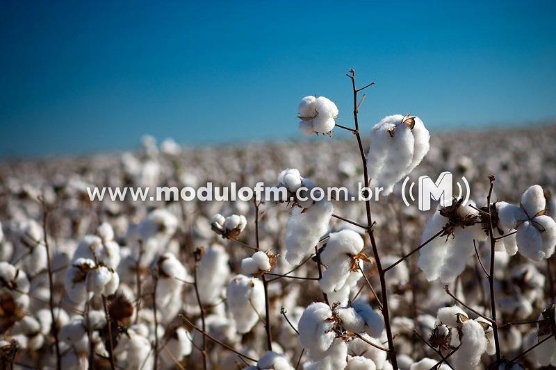 Começa vazio sanitário do algodão e do feijão em Minas Gerais